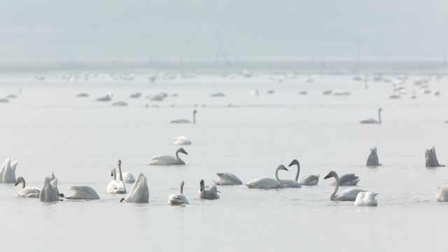 南洞庭湖万只候鸟云集,成对