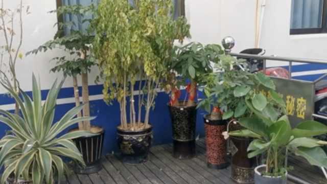 土豪偷盆栽精心养护,称怕别人养死