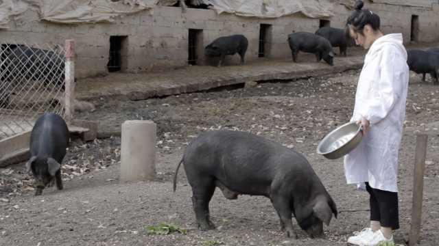 95后女大学生回乡养猪,嫁妆300头猪