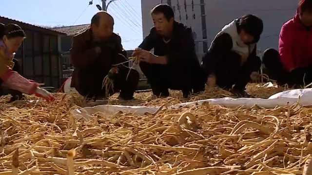 平顺县党参大丰收,干货一斤300元