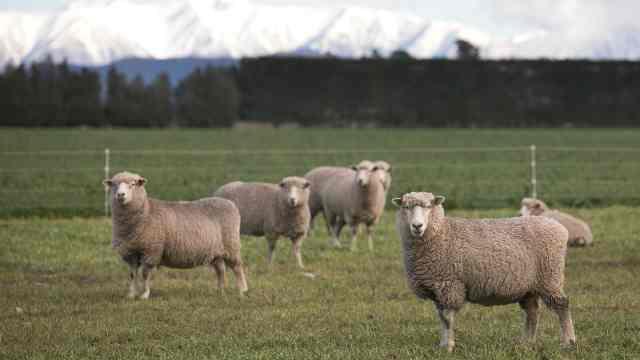 为减温室气体,新西兰将培育少屁羊