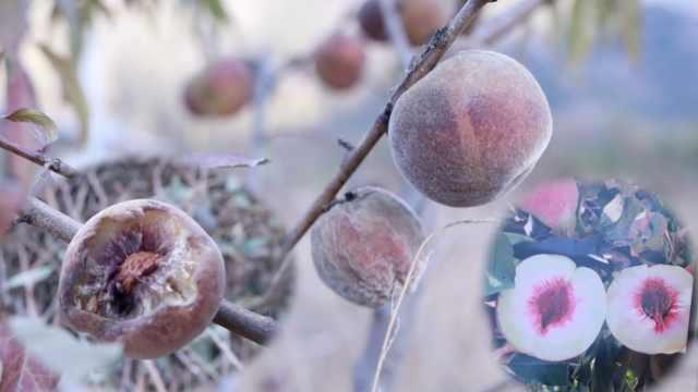 香格里拉遇超强霜冻,百亩冬桃遭殃