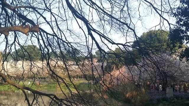三大樱园之一,盛花期武汉东湖樱园