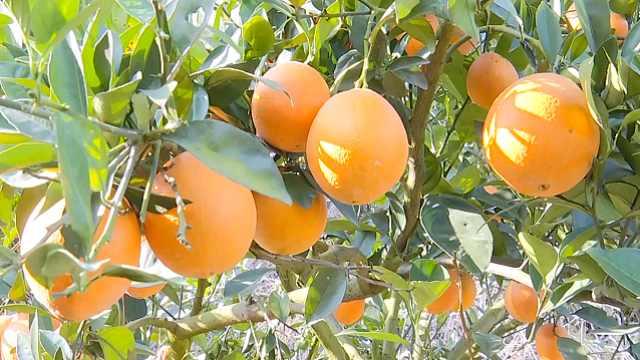 贵州榕江脐橙丰收!甜度爆表吃不够