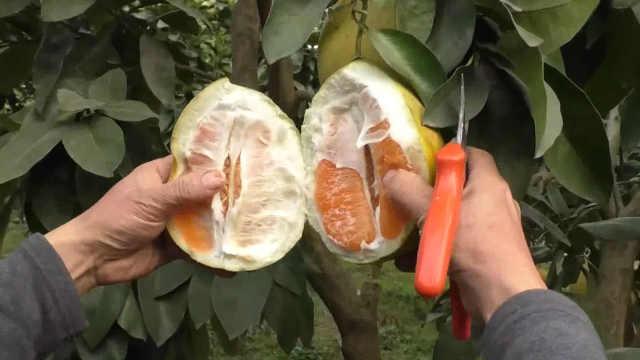 这种柚子脆爽倍儿甜,吃着竟像苹果