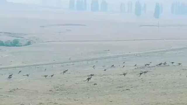 揪心!澳洲袋鼠成群狂奔逃离火场