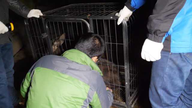 受伤动物涵洞发抖,一查是中华斑羚