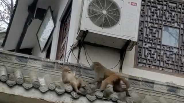 小猴屋檐上触电嘶叫,同伴拼死相救