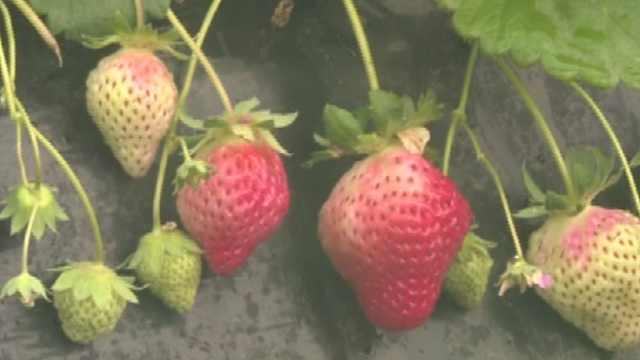 中牟:草莓红,钱包鼓