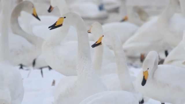 超美!黄河湿地万只天鹅与白雪共舞