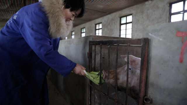 女大学生回乡养猪,帮百户人增收2万