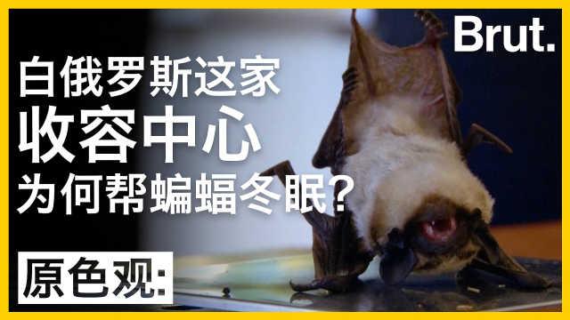 这家收容中心为何帮蝙蝠冬眠?