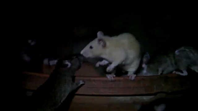 在这里和老鼠一起吃饭是福气?