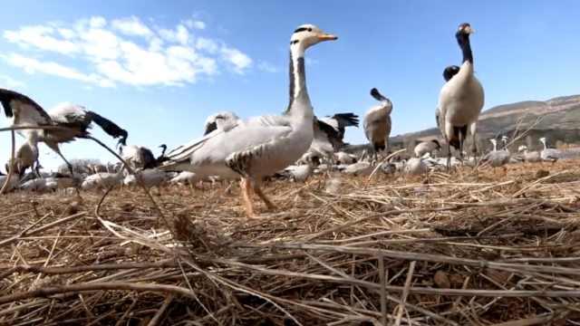 怕疫期觅食染病,3万候鸟有专人投喂
