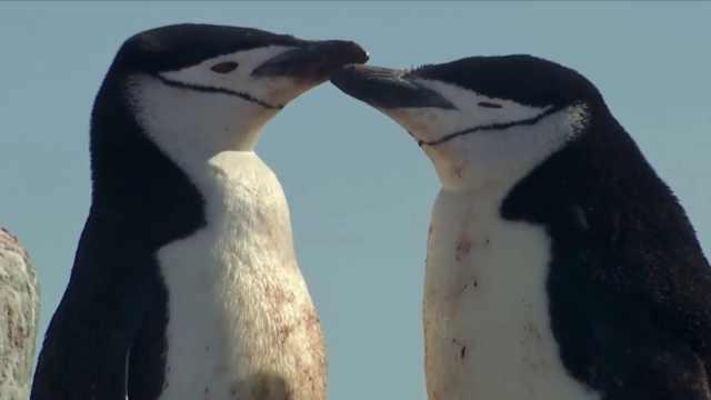 气候危机!南极帽带企鹅数下降77%