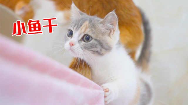 往猫咪嘴里丢小鱼干,猫能接住吗?