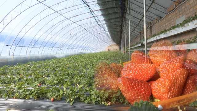 草莓园无人采摘,每天扔百斤价值8千