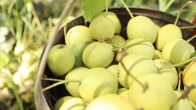 惊蛰时节万物苏醒,为何要吃梨?