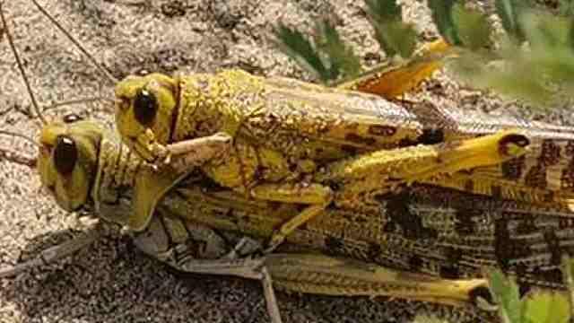 沙漠蝗虫迁徙到中国的可能性很小