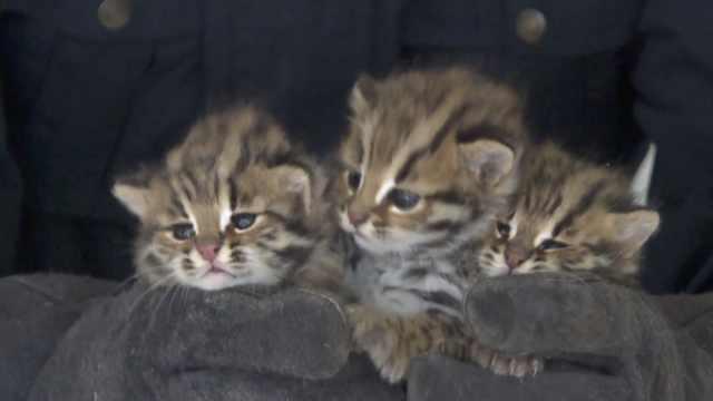 甘蔗地惊现3只豹猫幼崽,会学鸟叫