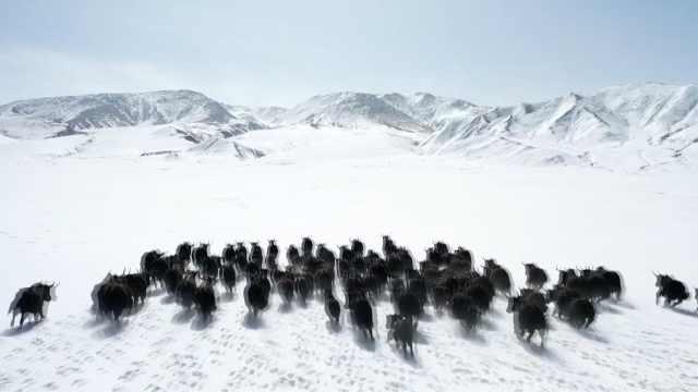 罕见!祁连山近百头野牦牛雪地撒欢