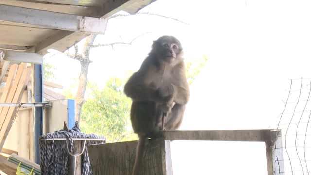 村民捡猕猴私养6年,把它当酒友对饮,疫期被收缴