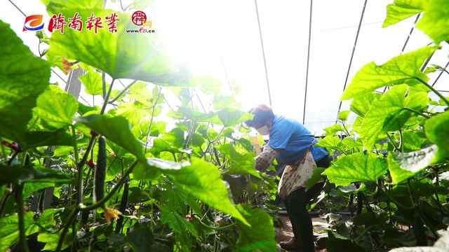 春耕进行时(一)章丘洛庄村:黄瓜大棚里的致富梦