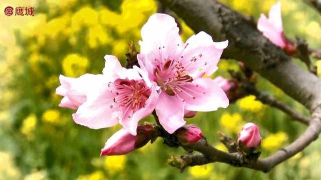 桃花朵朵开,不负春光不负卿