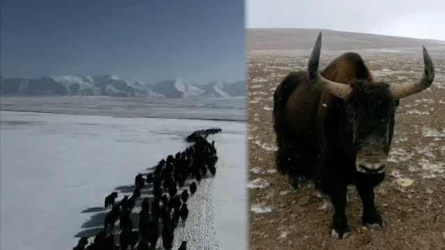 罕见!祁连山腹地近千头野牦牛踏雪迁徙,一头怒怼镜头