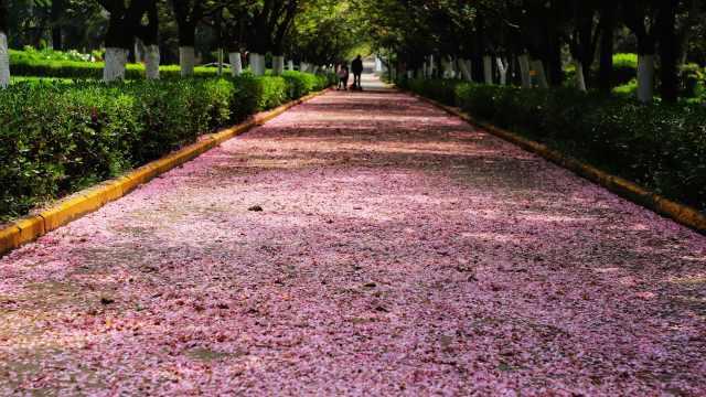 美若仙境!西安交大落樱铺满樱花道,保洁:已保留了十几天