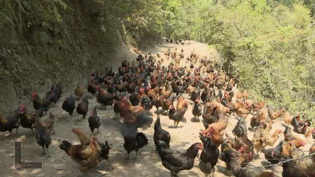 复工   山地鸡长大养殖户愁销路,常遭野猪和老鹰偷袭