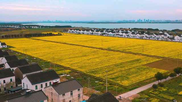 苏州市相城区油菜花已开成花海,我们在阳澄湖边等风来