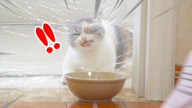 用保鲜膜封住猫咪去路,猫会撞上去吗?猫:我的脸!