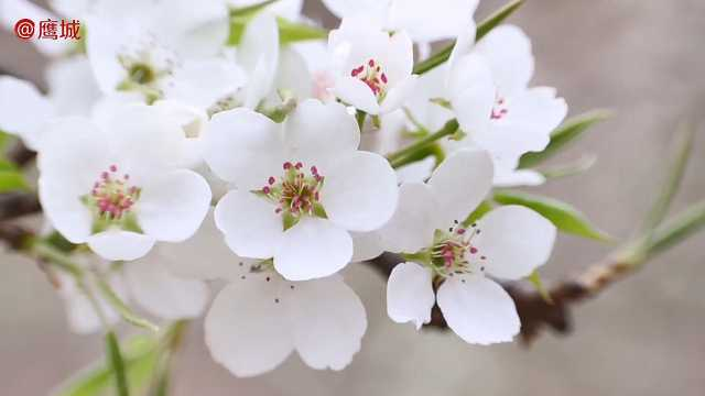 舞钢梨花,尘世间的白月光
