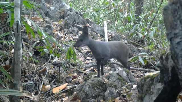 广西拍到濒危珍稀动物林麝视频:胆小机警、边吃边走