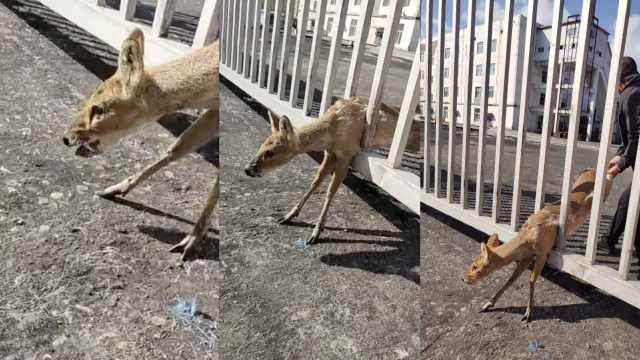 世界濒危物种河麂首次现身吉林,被认为是最原始的鹿科动物