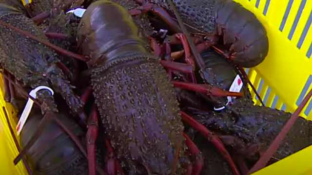 龙虾降价一半也难卖!澳海鲜市场受疫情重挫损失2.5亿美元