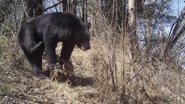 熊出没!陕西秦岭拍摄到野生黑熊,镜头前抬腿挠痒