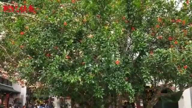 南京夫子庙120岁的古石榴树开花啦,快来打卡!