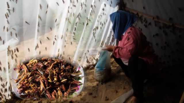农妇大棚养蚂蚱客户亲自捉,销路不愁年销上万斤