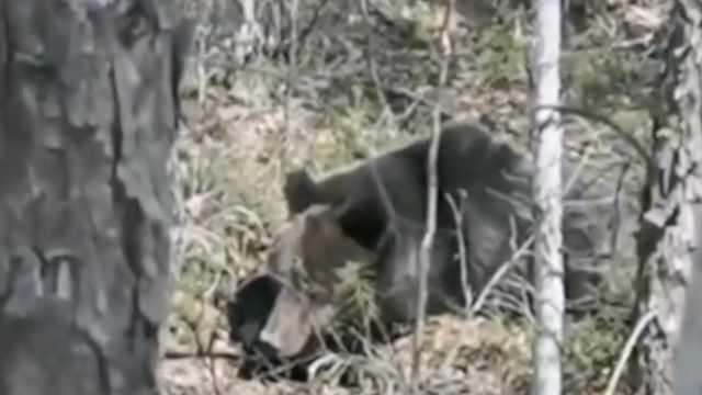 熊出没!护林员巡逻遇棕熊相隔10米,淡定拍视频冲它吹口哨