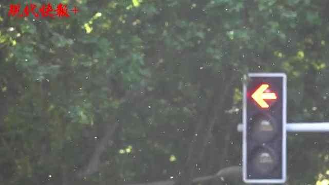 """南京主城见不到多少杨柳树,满地的""""太阳雪""""是哪来的?"""