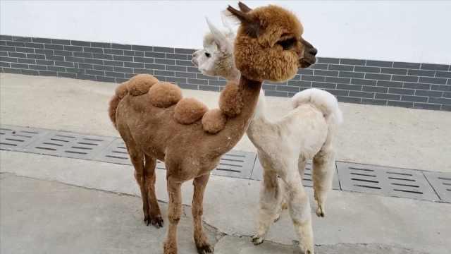 """动物园给邋遢羊驼洗剪吹,""""脱""""掉棉衣萌值爆表迎六一"""