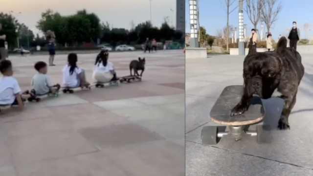斗牛犬开滑板火车带一串小朋友遛弯,狗主人:1个月学会滑板