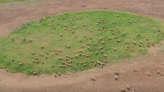 """荆州:石首麋鹿保护区""""添丁"""",新生麋鹿超200头"""
