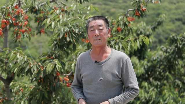 老汉卖房开荒山钻研樱桃种植:山上樱桃品种达
