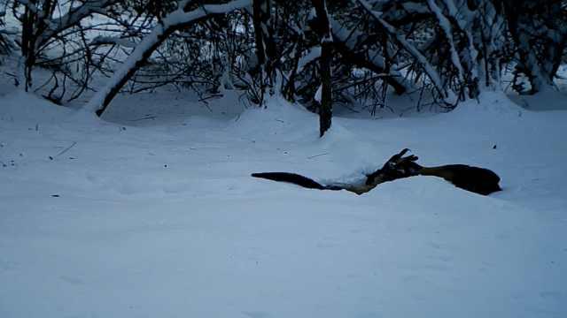 """神农架原始森林拍到""""神兽""""猎捕画面,多种罕见动物现身"""