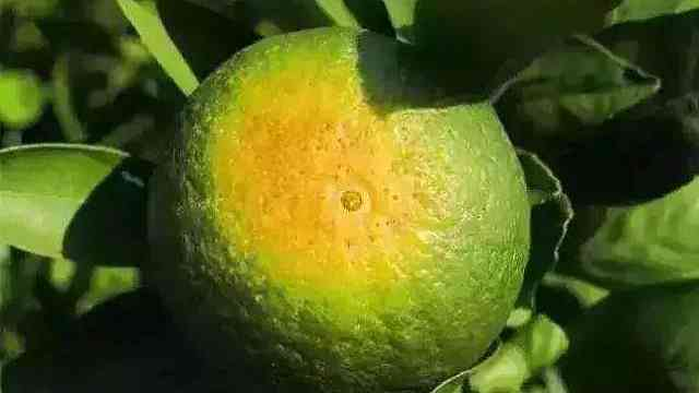 夏季柑橘农事多,柑橘防晒是重中之重,用渔柑膜避免太阳果!