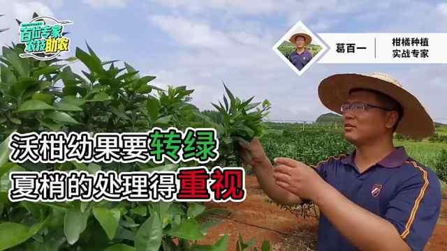 蜜蜂TV:沃柑幼果要转绿,夏梢如何处理?