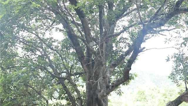 杨梅祖宗风华正茂!深山岩石千年杨梅树结出千斤果:从不施肥